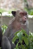 Hua Hin Monkey 02 — Stock Photo
