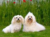 Två bichon havanais hundar — Stockfoto