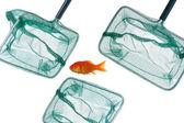 Goldfish and nets — Stock Photo