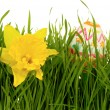 Daffodil and easter egg — Stock Photo
