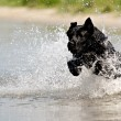 Black dog in water — Stock Photo