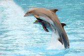 Dolphins jumping — Photo