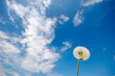 Dandelion — Stock Photo