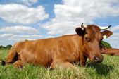 Vaca de reclinación — Foto de Stock