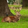 Red Deer Stag at Rest - Stock Photo