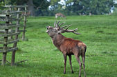 Red Deer Stag Ready for Rutting — Stock Photo