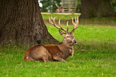 Red Deer Stag at Rest — Stock Photo