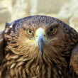 Stock Photo: Eagle stare