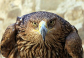 Eagle stare — Stock Photo