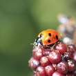 Single wild ladybird on a blackberry bush in the autumn sunshine — Stock Photo