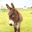 Domestic donkey standing in a field - Stock Photo