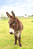 Domestic donkey standing in a field — Stock Photo