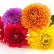 Dahlia flowers — Stock Photo #3964305