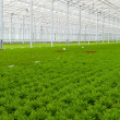 Greenhouse with many Bamboo plants - Stock Photo