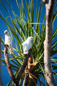 Australian tree with birds — Stock Photo
