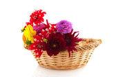 Flores dalia — Foto de Stock