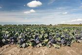 Kırmızı lahana — Stok fotoğraf