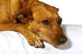 Drömmer hund — Stockfoto