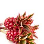 Pineapple fruit — Stock Photo