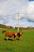 Fransız inekler — Stok fotoğraf