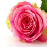 Single pink rose — Stock Photo #4390949