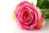 Sola rosa rosa — Foto Stock