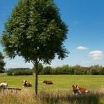 Dutch landscape with cows — Stock Photo