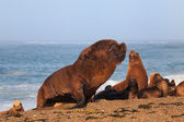 South American sea lions and seals — Stock Photo