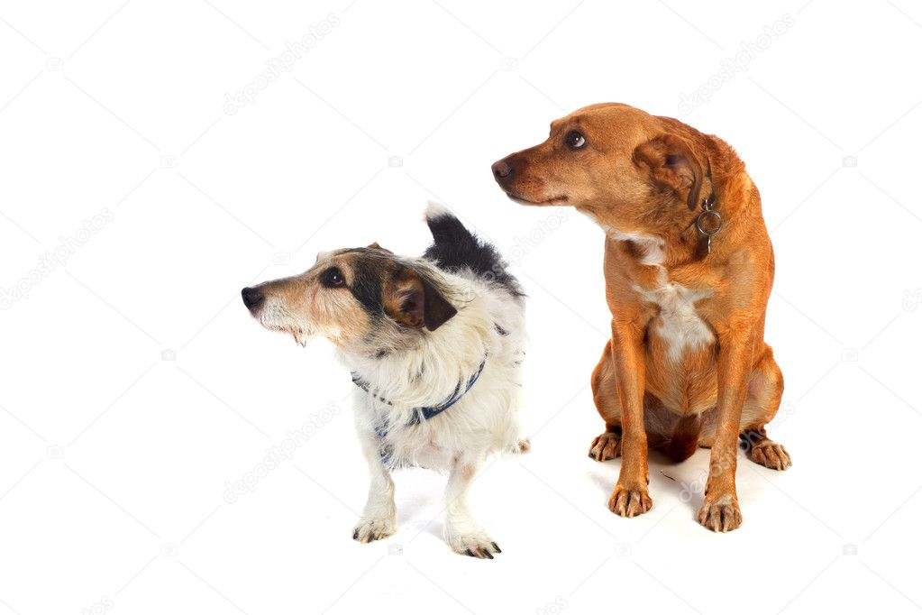 Two dogs in the studio isolated over white  Stock Photo #4598605