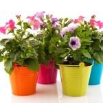 Colorful garden Petunias — Stock Photo