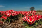 Piccolo rossi tulipani in primavera — Foto Stock