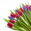 Stock Photo: Tulips and Hyacinths
