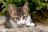 Young Greek cat — Stock Photo