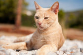 Greek red cat — Stockfoto