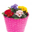 Pink basket with colorful Primroses — Stock Photo #4890549