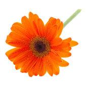 Orange gerber — Stockfoto