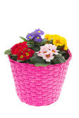 Pink basket with colorful Primroses — Stockfoto