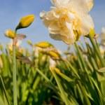 Double Daffodils — Stock Photo #5089554