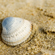 Shell at the beach — Stock Photo