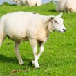 Stock Photo: Sheep at dike