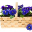Stock Photo: Basket Pansy flowers