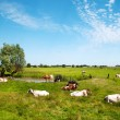 Stock Photo: Typical Dutch landscape