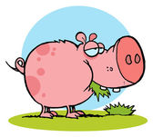 Chubby Pink Pig Snacking On Grass — Stock Photo