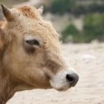 Dairy cow — Stock Photo #4939287