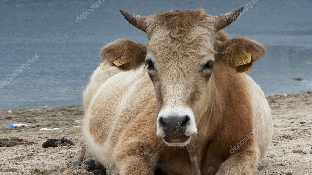 Dairy cows resting on beach - Lake - Nature - Animal - Bull - Rumination  Stock Photo #4939310