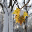 Leaf under snow — Stock Photo #4236756