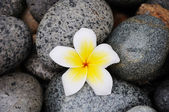 Flower on stones — Stock Photo