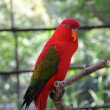 Chattering Lory — Stock Photo #4359988