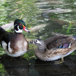 Couple of Ducks — Stock Photo #4446114