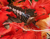Butterfly on hibiscus — Stock Photo